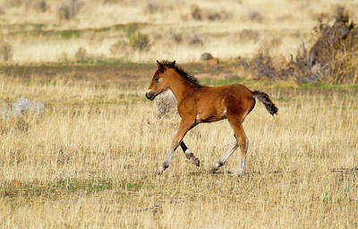 Cute Wild Bay Foal Galloping Across A Field Art Print