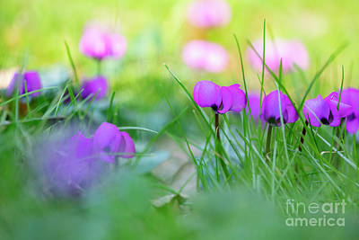 Photograph - Cyclamen Coum In Grass by Tim Gainey