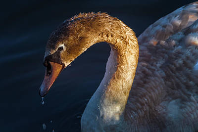 Photograph - Cygnet Swan by Mike Molloy Photo