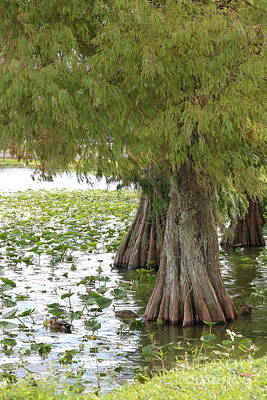 Photograph - Cypress Trees With Ducks by Carol Groenen