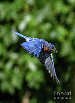 Michael Jackson - Daddy Is Coming - Eastern Bluebird by Cindy Treger