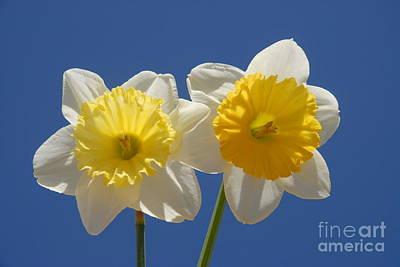 Wall Art - Photograph - Daffodil Duo by Josie Elias