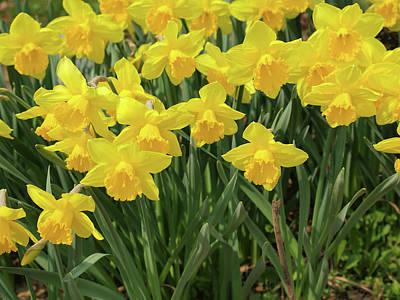Yellow Photograph - Daffodils by Goranstimac