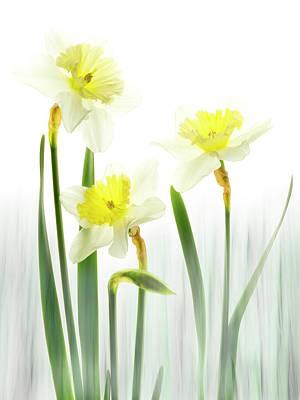 Photograph - Daffodils In A Meadow. by Usha Peddamatham