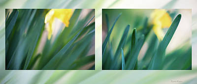Photograph - Daffodils  by Philip and Karen Rispin