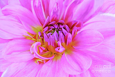 Royalty-Free and Rights-Managed Images - Dahlia Beauty in Pink by Regina Geoghan