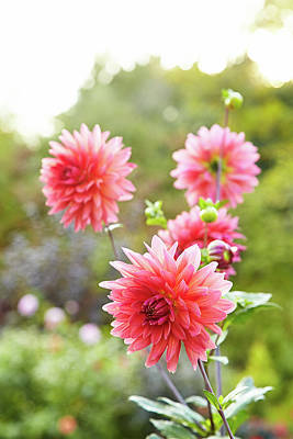 Photograph - Dahlia Dance by Garden Gate magazine
