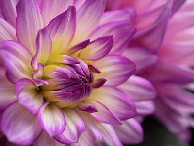 Photograph - Dahlia II by John Rodrigues