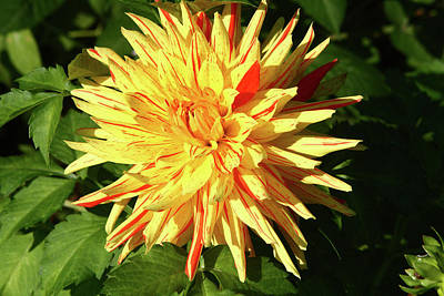 Photograph - Dahlia In Greenwich Park by Aidan Moran