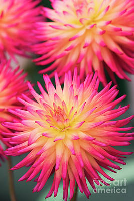 Art Print featuring the photograph Dahlia Josudi Tel Star Flowers  by Tim Gainey