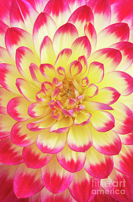 Photograph - Dahlia Kenora Wow Flower by Tim Gainey
