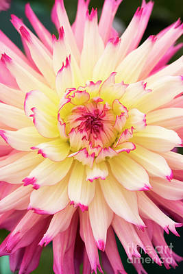 Photograph - Dahlia Nenekazi Flower by Tim Gainey