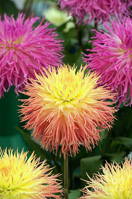 Photograph - Dahlia Normandie Frills Flowers by Tim Gainey