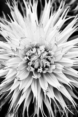 Art Print featuring the photograph Dahlia Normandie Frills Monochrome by Tim Gainey