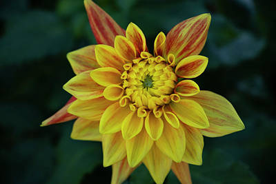 Photograph - Dahlia Opening by Steven Clark
