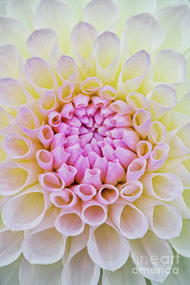 Art Print featuring the photograph Dahlia Ryecroft Brenda T Flower by Tim Gainey