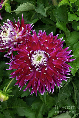 Photograph - Dahlia Vancouver Flower by Tim Gainey