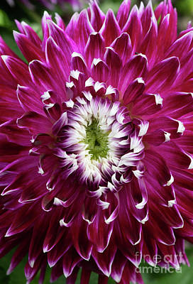 Photograph - Dahlia Vancouver  by Tim Gainey