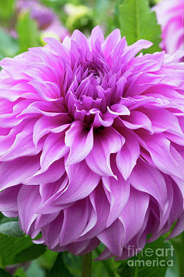 Photograph - Dahlia Vassio Meggos by Tim Gainey