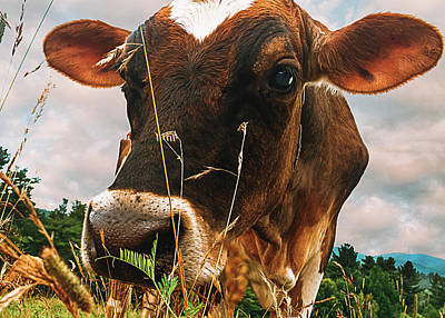 Photograph - Dairy Cow by Bob Orsillo