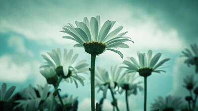 Photograph - Daisies Against A Blue Sky by Jeanette Fellows