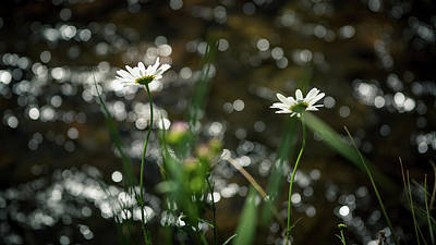 Photograph - Daisies And A River by Jeanette Fellows