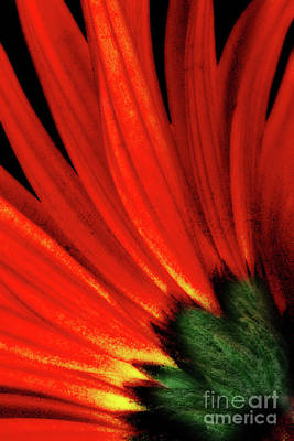 Photograph - Daisy Aflame by Anita Pollak
