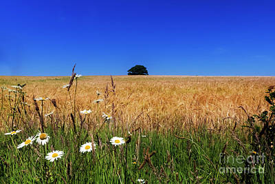 Photograph - Daisy Field by Terri Waters