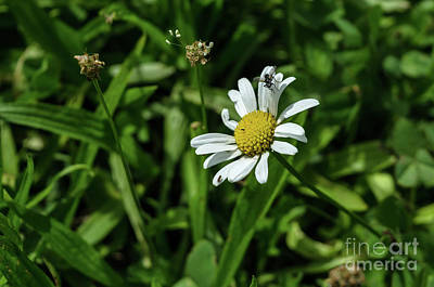 Photograph - Daisy Flower by Michelle Meenawong