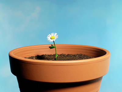 Fragility Photograph - Daisy In A Very Big Clay Pot by Phil Ashley