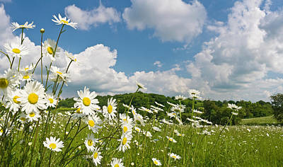 Daisy Meadow Summer Pastoral Art Print by Fotovoyager