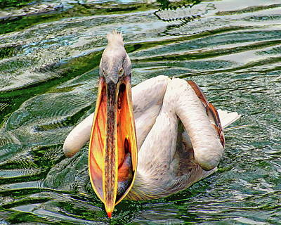 Photograph - Dalmatian Pelican by Anthony Dezenzio