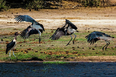 Photograph - Dance Of The Maribou Stork by Kay Brewer