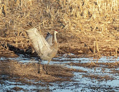 Photograph - Dancing Sandhill Crane 2019-2 by Thomas Young