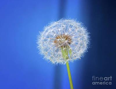 Photograph - Dandelion Blues by Karen Adams