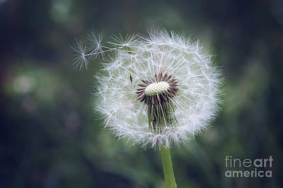 Photograph - Dandelion Dream by Sharon McConnell