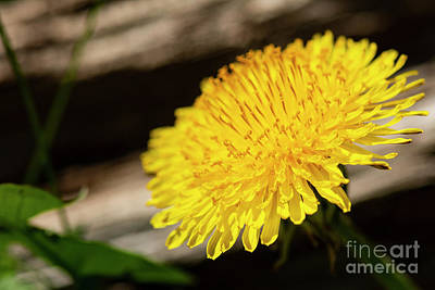 Photograph - Dandelion In Bloom by JT Lewis