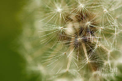 Photograph - Dandelion Puff Ball by JT Lewis