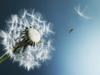 Fragility Photograph - Dandelion Spore On Blue Background by Phil Ashley