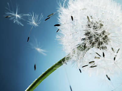Fragility Photograph - Dandelion Spores Drift Away From Head by Phil Ashley