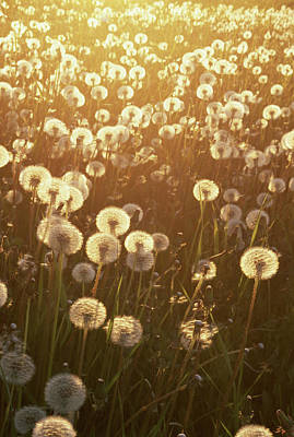 Dandelion Taraxacum Officinale Sunset Art Print by Stuart Westmorland