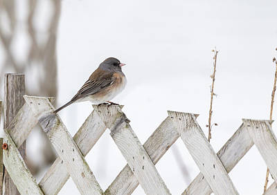 Photograph - Dark-eyed Junco 2019-1 by Thomas Young