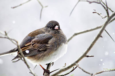 Photograph - Dark Eyed Junco by Christina Rollo