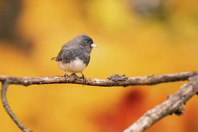 Photograph - Dark Eyed Junco In Fall by Jessica Nelson