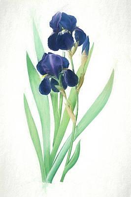 Nikki Vig Digital Art - Dark Purple Bearded Iris Botanical Chalk Art by Nikki Vig