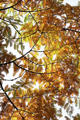 Photograph - Dawn Redwood Foliage In Autumn by Tim Gainey