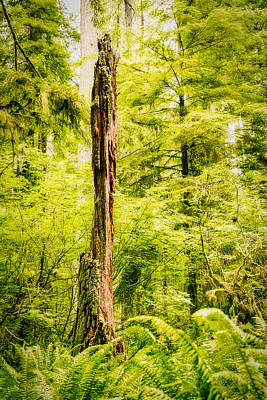 Photograph - Dead Tree In The Lush Forest by Stuart Litoff