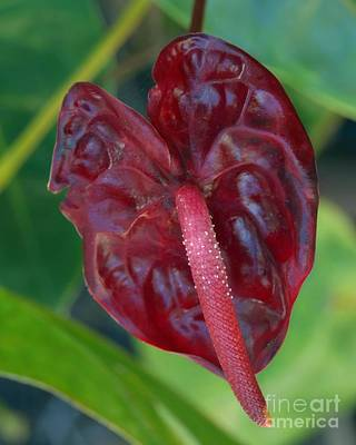 Photograph - Deep Red Anthurium by Patricia Strand