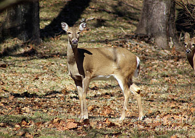 Photograph - Deer Doe by Karen Adams