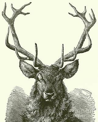Drawing - Deer Head  by English School